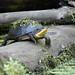 Blanding's Turtle by Kelenken