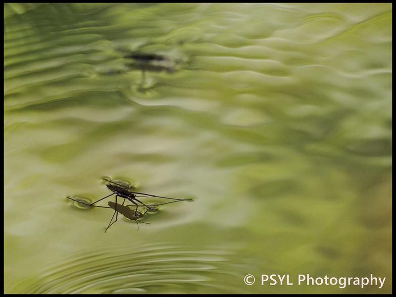 Water striders (Family Gerridae)