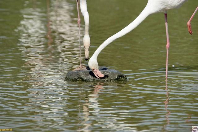 Flamingos - Nestbau?
