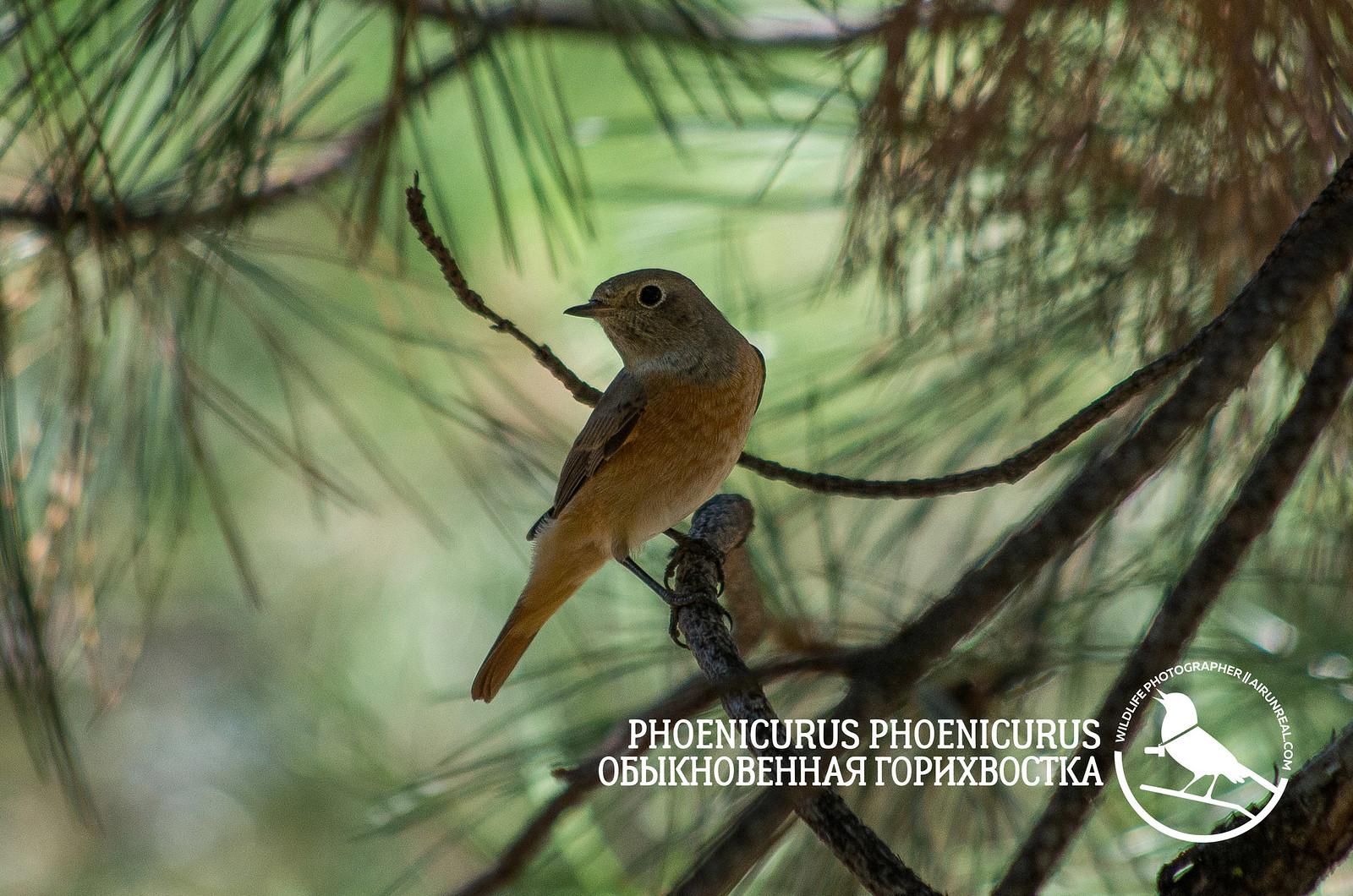Phoenicurus phoenicurus // 20170818