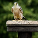 International Birds of Prey Centre (27)