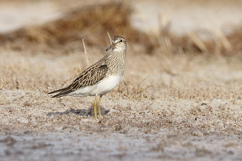 pectoralsandpiper sandpiper calidrismelanotos kanahapondstatewildlifesanctuary kanahapond kahului maui hawaii shorebird migratorybird bird nature wildlife