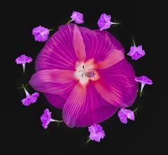 redhibiscus-purplepetunia-lab