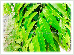 Shining green foliage of Polyalthia longifolia (False Ashoka, Buddha Tree, Mast Tree, Indian/Weeping Mast Tree), 1 Aug 2017