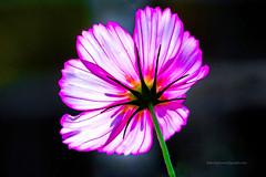 Lit Flower