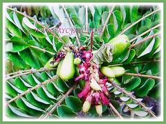 Evegreen and opposite arranged leaves, fruits and flowers of Averrhoa bilimbi (Bilimbi, Bilimbi Tree, Cucumber Tree, Tree Sorrel, Belimbing Asam/Buloh in Malay), 19 Aug 2017