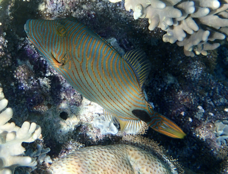 Orange-lined Triggerfish_оранжевополосый спинорог_P8070529+