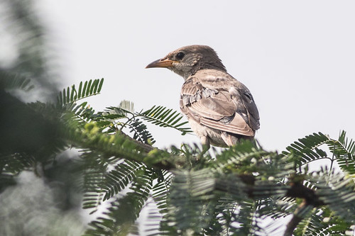 Rosy Starling - immature