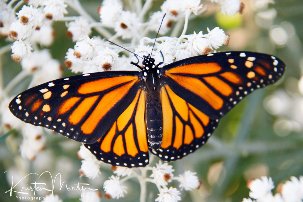 Monarch Butterfly (Danaus plexippus)- Female