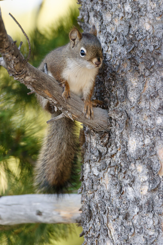 A red squirrel sits on a tree branch beside Shoshone Lake on the Shoshone Lake Trail at Yellowstone National Park