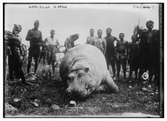 Hippo, killed in Africa (LOC)