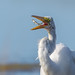 Great egret, Wells Reserve at Laudholm by JEO126
