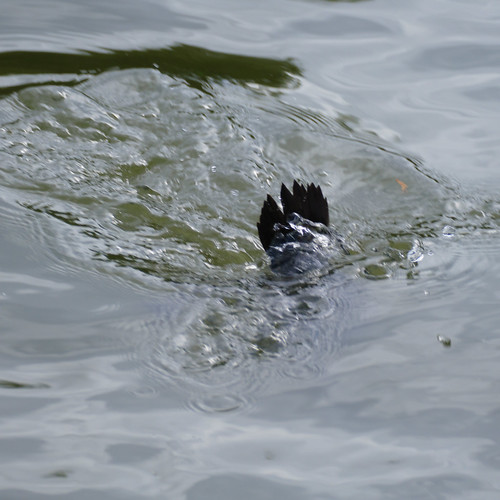 Young tufted duck diving, River Avon