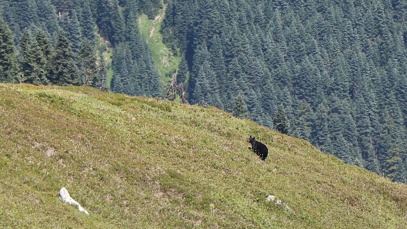 Zoomed-in view of a Black Bear down below us as we hiked the High Pass Trail - he ran away when he saw us
