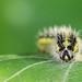 Large White, caterpillar