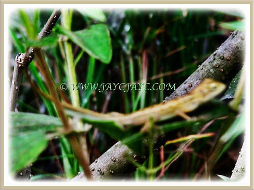 Baby Garden Lizard on our mulberry shrub