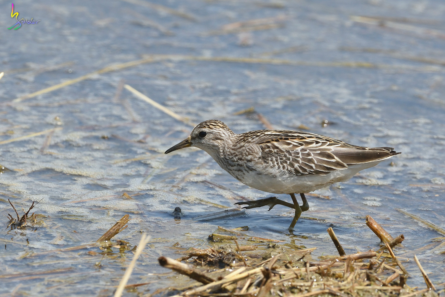Long-toed_Stint_8308