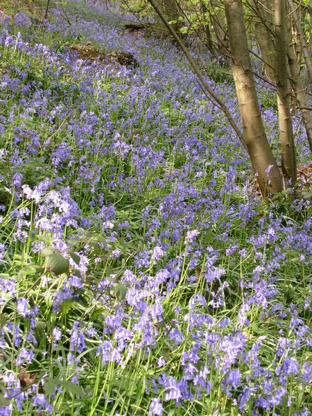 Bluebells on Ide Hill