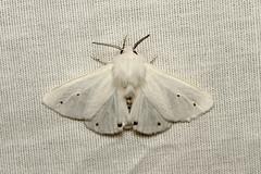 Spilosoma virginica (Virginian Tiger Moth) - Hodges # 8137