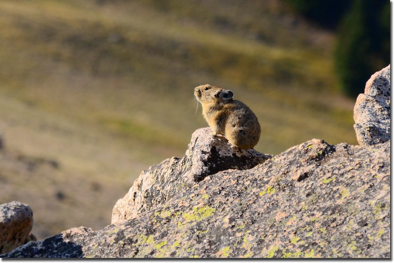 Pika along the trail