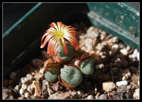 Conophytum auriflorum x velutinum 37390184876_8b490d138d