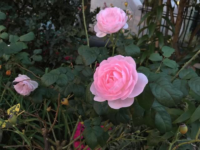 More Tudor roses