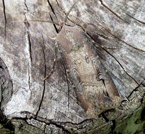 Dark Sword-grass Agrotis ipsilon Tophill Low NR, East Yorkshire July 2017