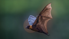 The flying fox!