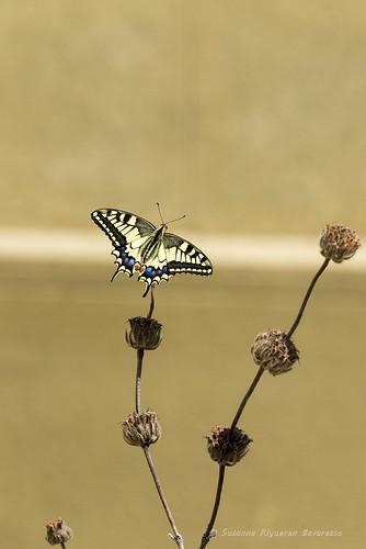 Farfalle in Villa Pallavicini