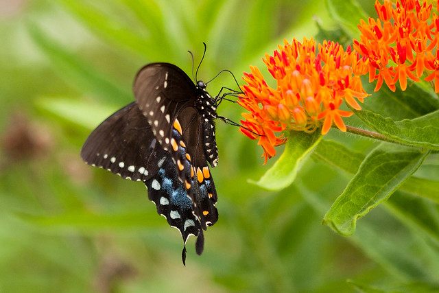 Black Swallowtail on Butterfly, Canon EOS 5D MARK II, Canon EF 100mm f/2.8 Macro USM