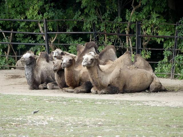 Trampeltier, Zoo Prag