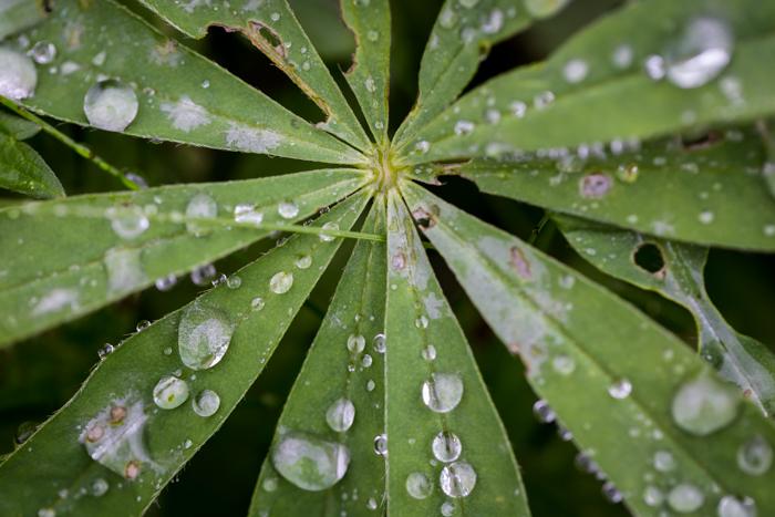 lupiini lehti sateen jälkeen syksy syyskuu vihreä kasvi (1 of 1)