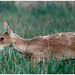 Chinese Water Deer.