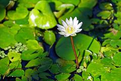 Aquatic Plants - New York Botanical Garden, Bronx, NYC