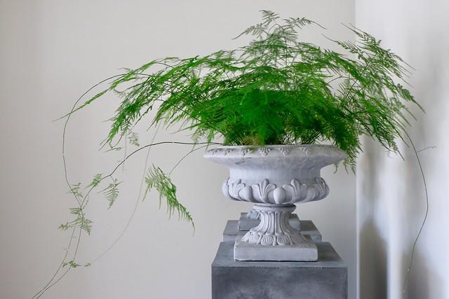 Zuil Franse vaas Asparagus plant