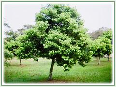 Evergreen tree of Cinnamomum verum (Cinnamon, True Cinnamon, Ceylon/Cassia Cinnamon, Cinnamon Bark Tree, Kayu Manis in Malay) that can soar between 9-15 m tall, 17 Aug 2017
