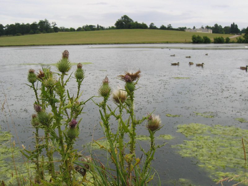 big lake and thistles, woburn park