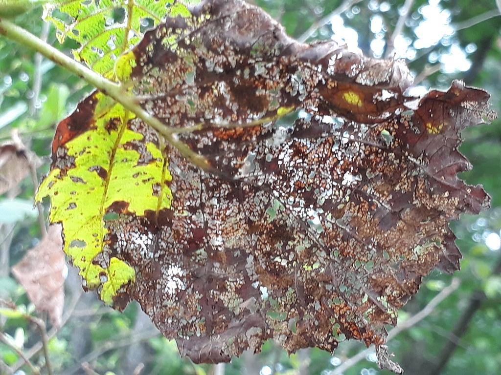 16-3-1 오리나무잎벌레애벌레가 먹은 흔적