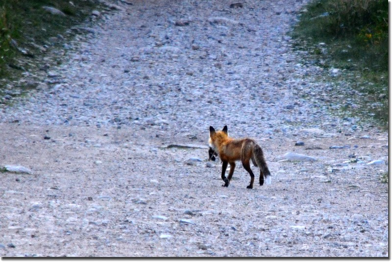 Fox on the trail 3