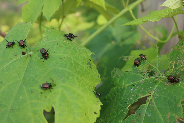 about a dozen beetles on two grapevine leaves, not much damage yet