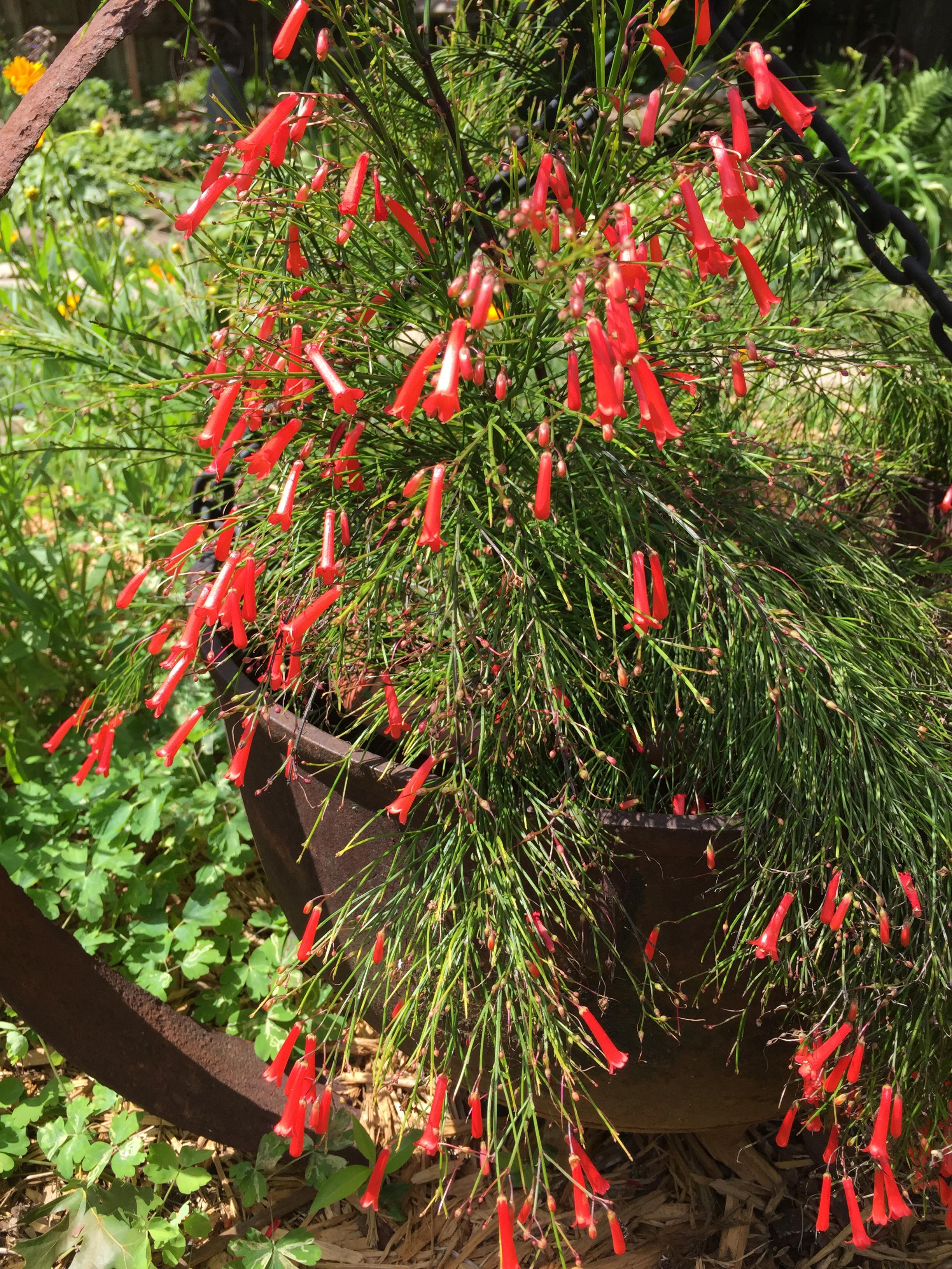 Russelia equisetiformis Red Firecracker Fern Springdale AR 6 13 15 (2)