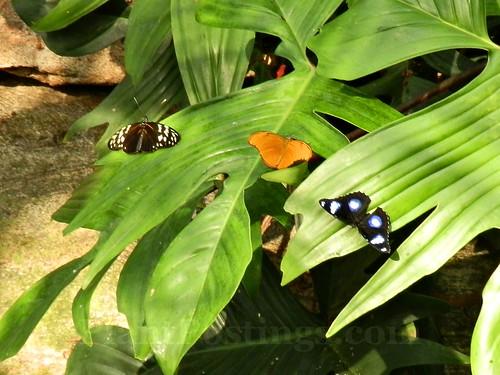 butterfly triplets