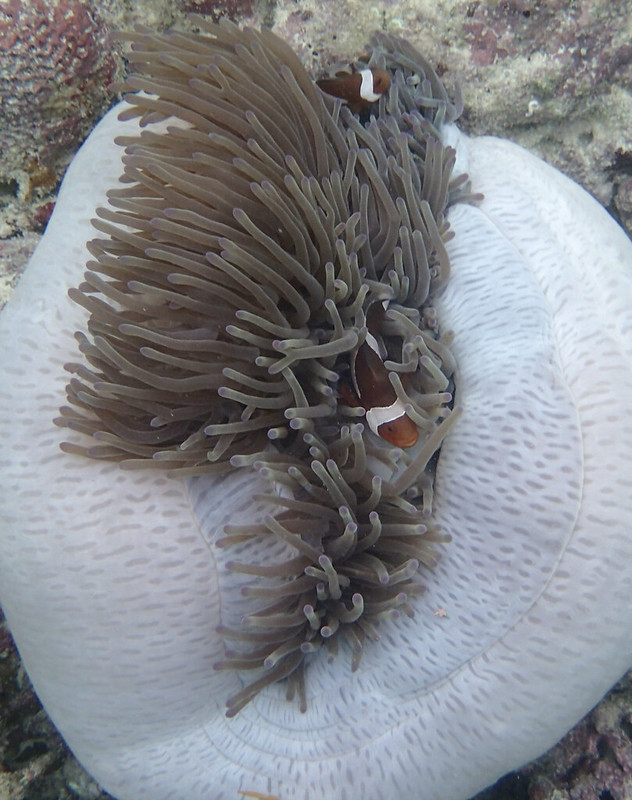 False clown anemonefish_Клоун-оцелярис_P8050083+