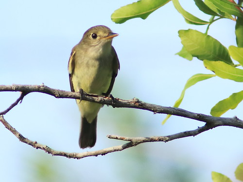Traill's Flycatcher 01-20170904