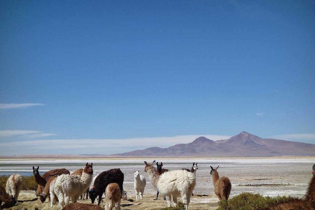 San Pedro Atacama - Salar de Tara - Lama 4