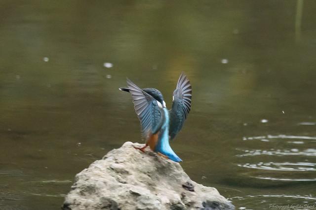 20170907-kingfisher-DSC_2222