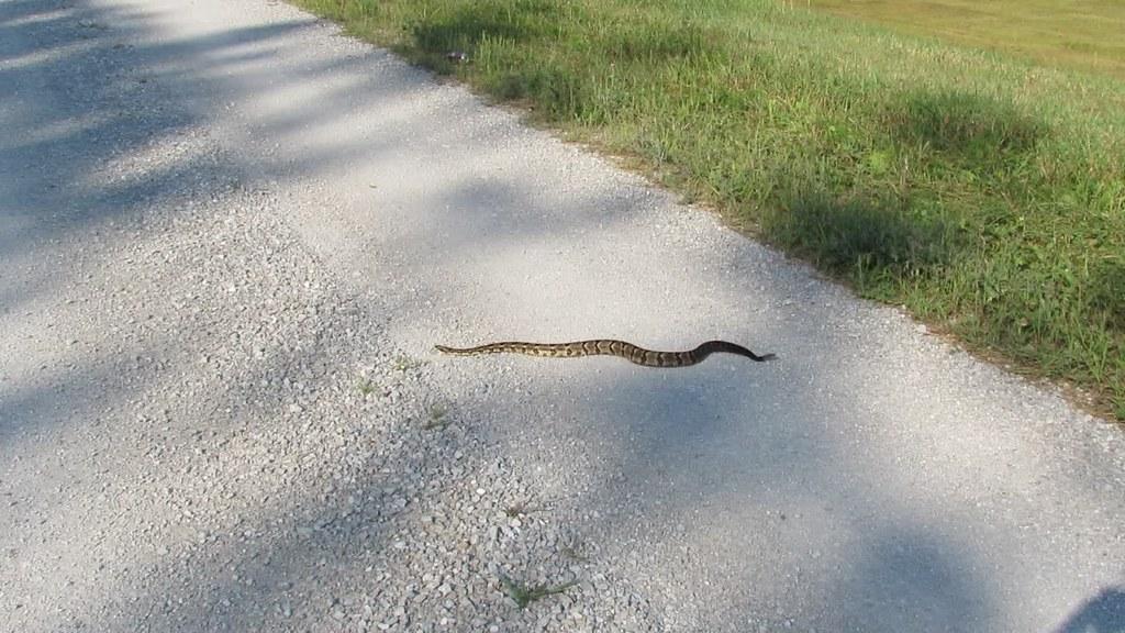 Lifer Timber Rattlesnake