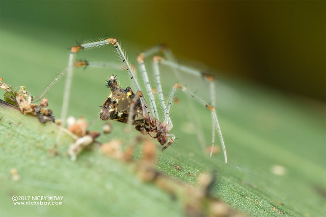 Comb-footed spider (Meotipa sp.) - DSC_9053