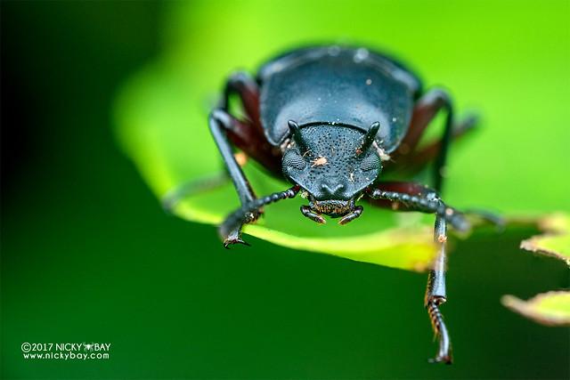 Horned blue darkling beetle (Toxicum sp.) - DSC_9027