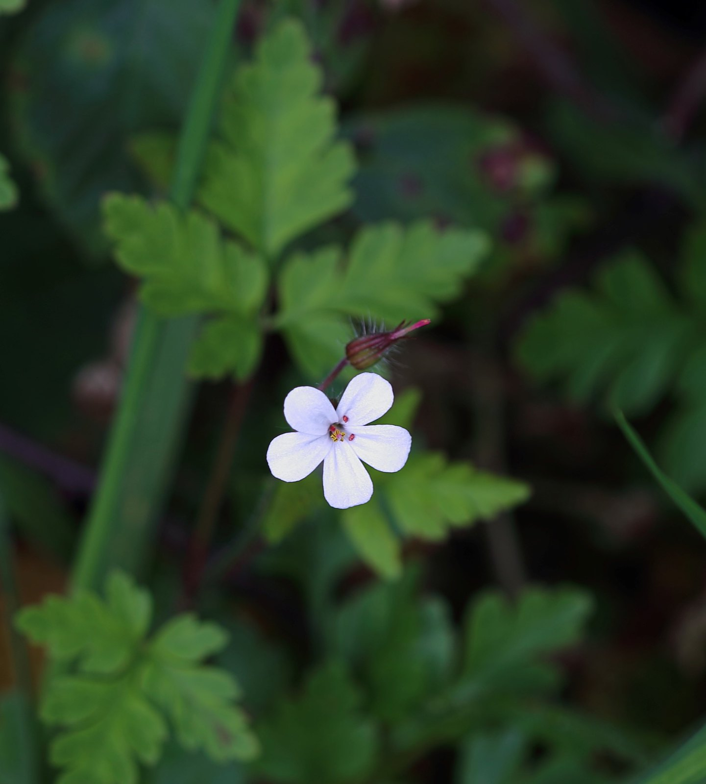 White Herb Robert flower near Scaynes Hill